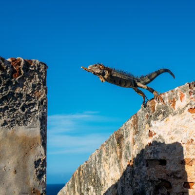 Iguana leaping from one stone to another