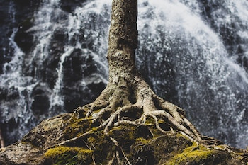 Tree with exposed roots growing on rock