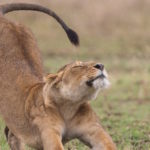 Lioness in a field stretching